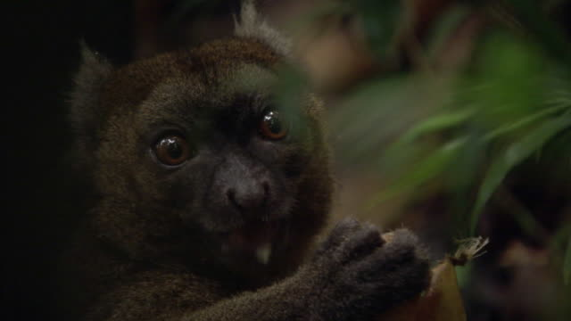 golden bamboo lemur (hapalemur aureus) feeds on bamboo shoot, madagascar - bamboo shoot stock videos & royalty-free footage