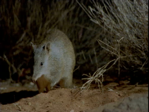 golden bandicoot emerges at night and hops away, western australia - emergence stock videos & royalty-free footage