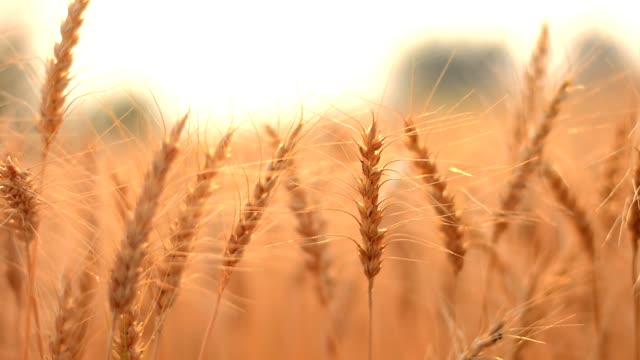 golden barley field - orzo video stock e b–roll