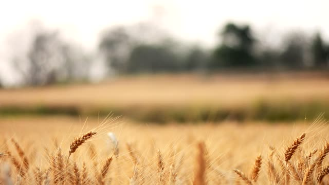 golden barley field - chiang rai province stock videos and b-roll footage