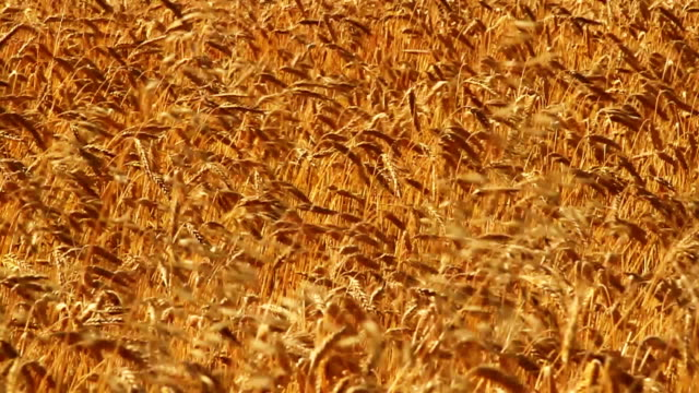 golden barley waving in wind. slow motion. - cereal plant stock videos & royalty-free footage