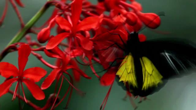 golden birdwing butterfly feeding - tropical flower stock videos & royalty-free footage
