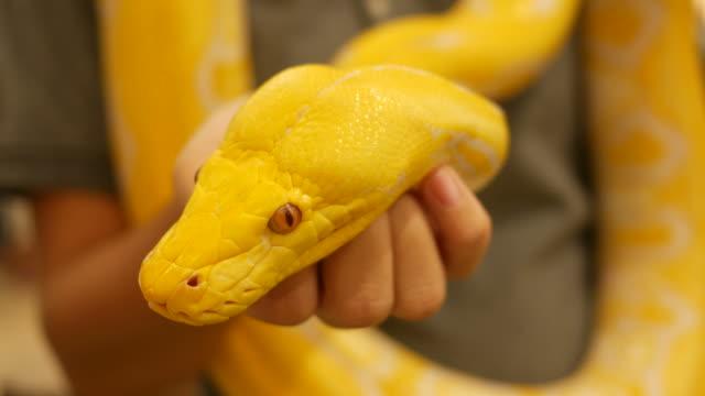 golden burmese python - snake stock videos & royalty-free footage