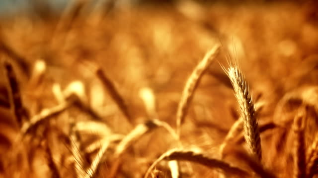 golden crops in wind - wheat stock videos & royalty-free footage
