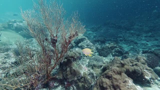 golden damsel fish guarding offspring on sea fan coral - animal behaviour stock videos & royalty-free footage