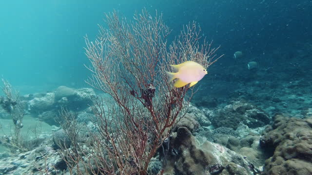 golden damsel fish protecting her eggs on coral reef - gorgonian coral stock videos & royalty-free footage