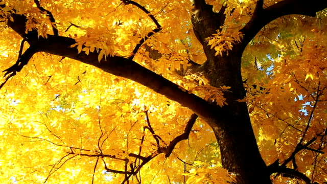 golden deciduous tree - deciduous tree stock videos & royalty-free footage