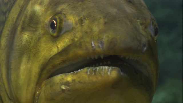A golden dorado opens and closes its wide mouth. Available in HD.