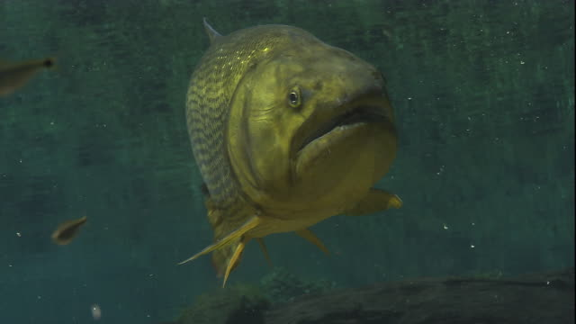 a golden dorado swims near smaller fish in a river. available in hd. - gill stock videos & royalty-free footage