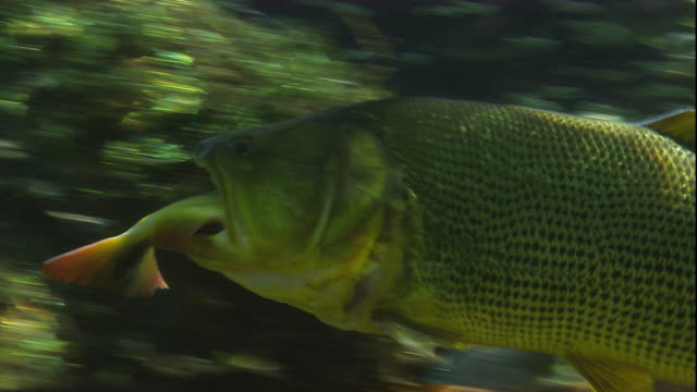 a golden dorado swims with a brycon in its mouth. available in hd. - fish stock videos & royalty-free footage