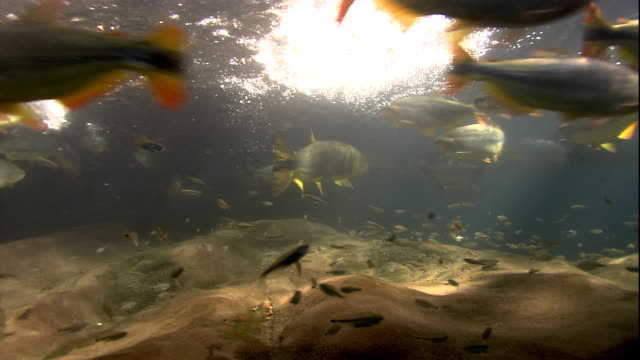 Golden dorados and other fish swim in a Brazilian river. Available in HD.