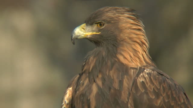 golden eagle close-up - golden eagle stock videos & royalty-free footage