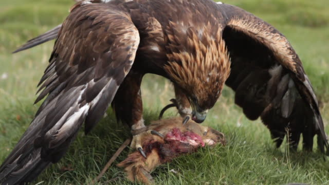 vidéos et rushes de golden eagle feeding itself with a dead animal - aigle royal