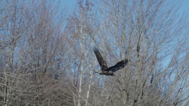 golden eagle flies away - golden eagle stock videos & royalty-free footage