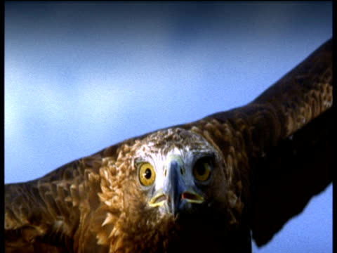 vidéos et rushes de golden eagle flies directly to camera, then crash zoom out as it flies against cloudy sky - aigle royal
