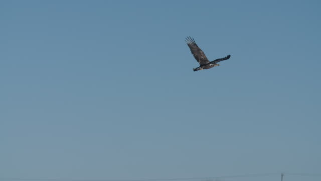 golden eagle flies in blue sky - wolkenloser himmel stock-videos und b-roll-filmmaterial
