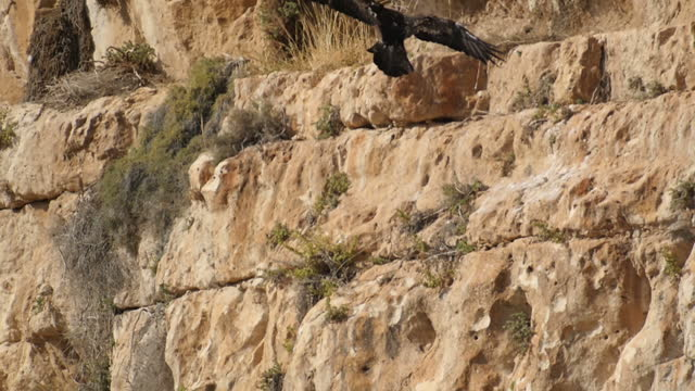 A golden eagle flies low over a rocky mountainside, Soaring and lands in the nest, slow motion.
