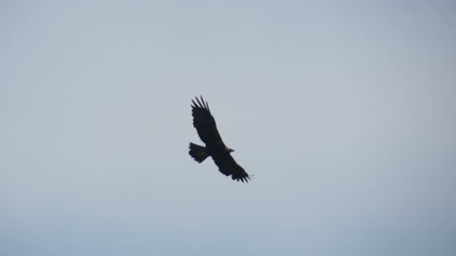 vidéos et rushes de a golden eagle flies low over a rocky mountainside, soaring. - aigle royal