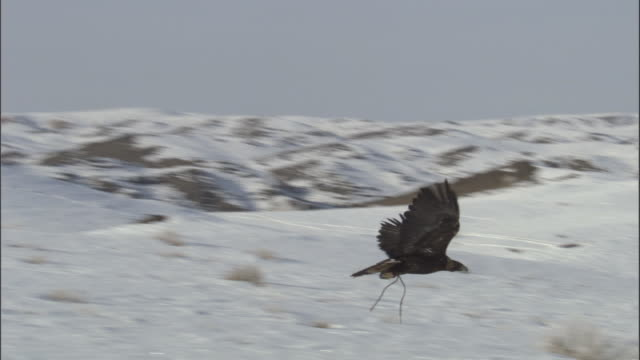 golden eagle (aquila chrysaetos) flies over snowy steppe, jiakuerte, china - perching stock videos & royalty-free footage