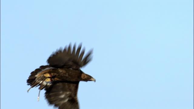 golden eagle (aquila chrysaetos) flies over snowy steppe, jiakuerte, china - adler stock-videos und b-roll-filmmaterial