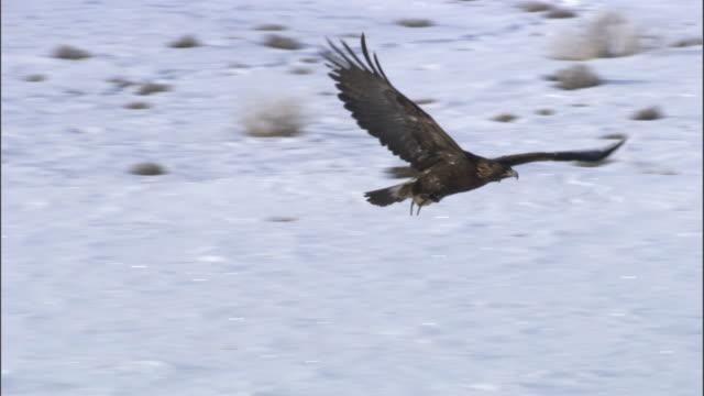 golden eagle (aquila chrysaetos) flies over steppe, jiakuerte, china - adler stock-videos und b-roll-filmmaterial