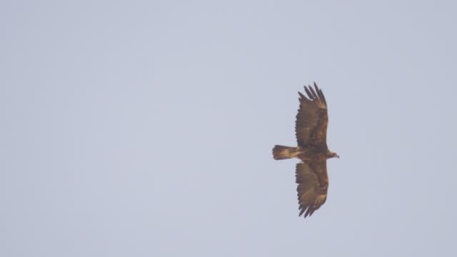 golden eagle( aquila chrysaetos) flying in desert/ israel negev - bird of prey stock videos & royalty-free footage