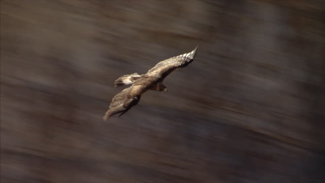 golden eagle flying - dolomites stock videos & royalty-free footage