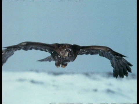 cu golden eagle (aquila chrysaetos) gliding in to land, to camera, scotland - golden eagle stock videos & royalty-free footage