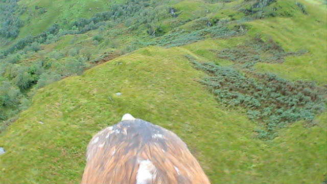vidéos et rushes de golden eagle in flight - aigle royal