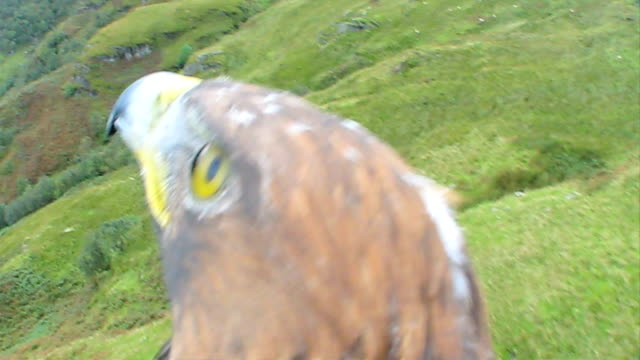 golden eagle in flight - eagle bird stock videos and b-roll footage