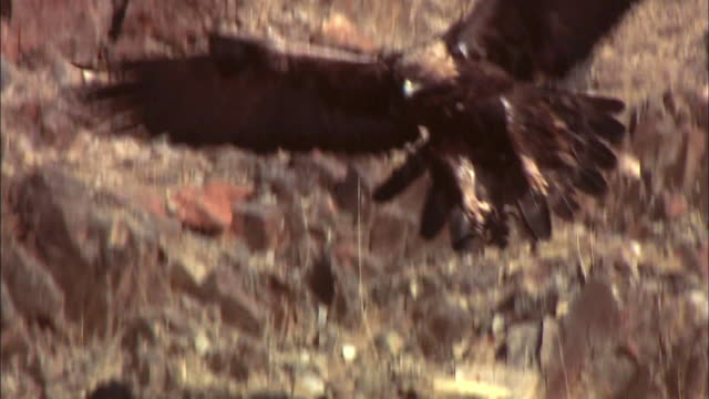 golden eagle landing on rock formation - perching stock videos & royalty-free footage