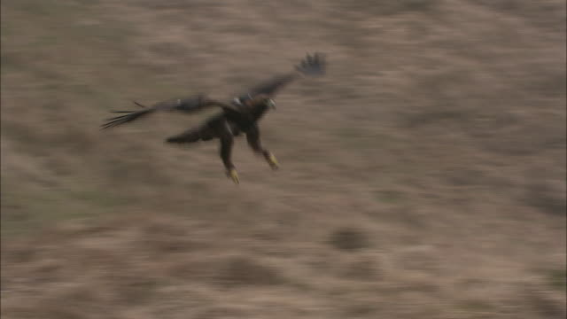 a golden eagle lands on a grassy knoll. - golden eagle stock videos & royalty-free footage