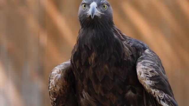 golden eagle looking around - adler stock-videos und b-roll-filmmaterial