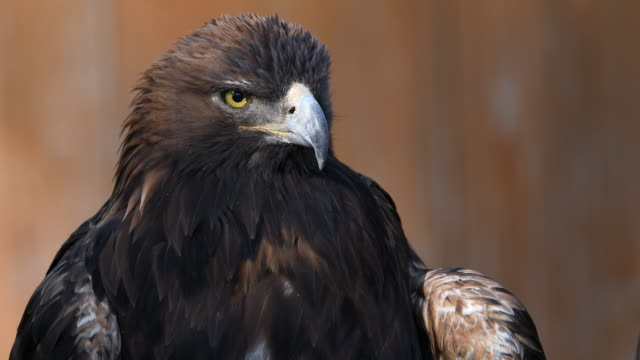 vidéos et rushes de golden eagle perched and looking around - aigle royal