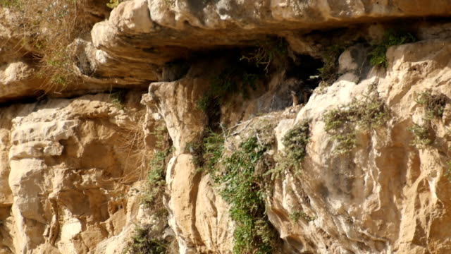 vidéos et rushes de golden eagle perched on rock above canyon, near the nest - aigle royal