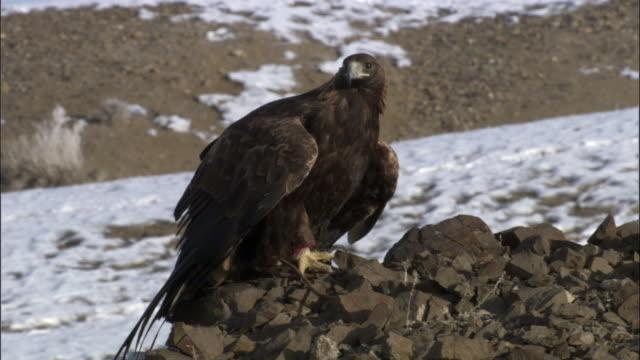 vídeos de stock e filmes b-roll de golden eagle (aquila chrysaetos) perched on steppe, jiakuerte, china - olhar em redor