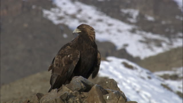 golden eagle (aquila chrysaetos) perched on steppe, jiakuerte, china - adler stock-videos und b-roll-filmmaterial