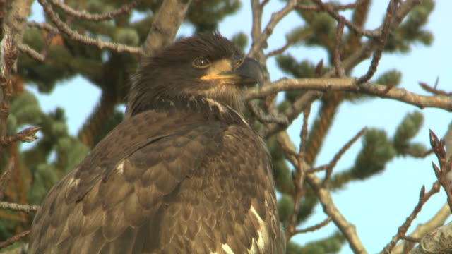 vidéos et rushes de a golden eagle perches in a tree and looks around. - aigle royal