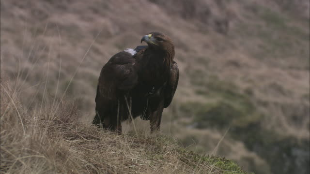 a golden eagle perches on a grassy slope and looks around. - golden eagle stock videos & royalty-free footage