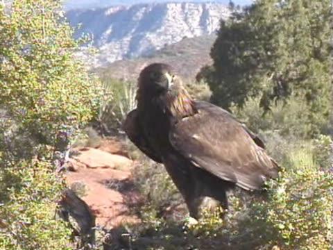 ms golden eagle perching on rock, mountain in background / usa  - 動物の口点の映像素材/bロール
