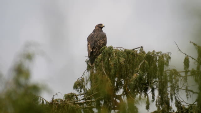 golden eagle perching on tree - golden eagle stock videos & royalty-free footage