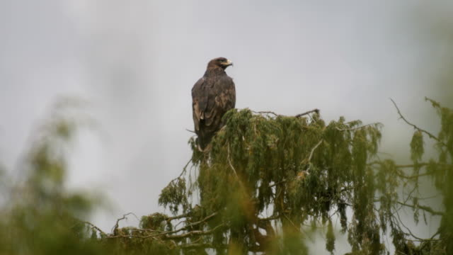 vidéos et rushes de golden eagle perching on tree - aigle royal
