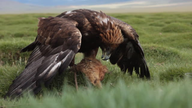 vidéos et rushes de golden eagle preparing itself to eat dead animal - aigle royal