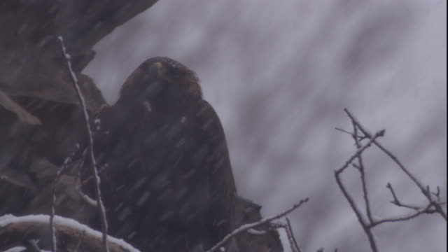 vidéos et rushes de a golden eagle shelters from the snow. available in hd. - aigle royal