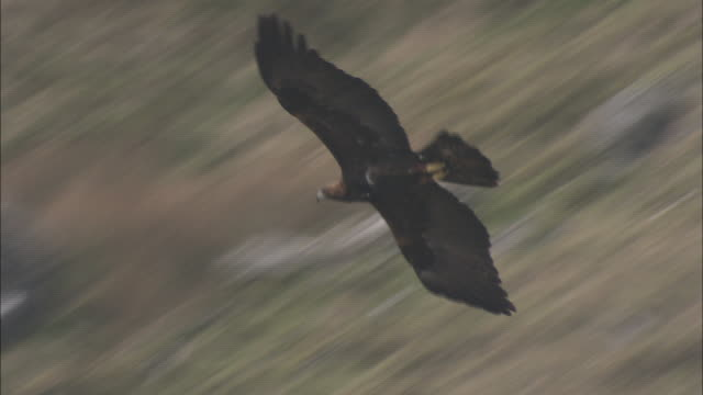 a golden eagle soars over rugged hills and ridges. - golden eagle stock videos & royalty-free footage