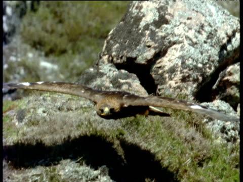 golden eagle soars towards camera over rocks, canada - gespreizte flügel stock-videos und b-roll-filmmaterial