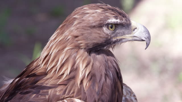 vidéos et rushes de golden eagle staring in the distance - aigle royal