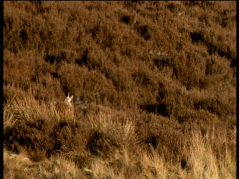 Golden Eagle swoops down towards Arctic Hare on moor, hare escapes and runs away