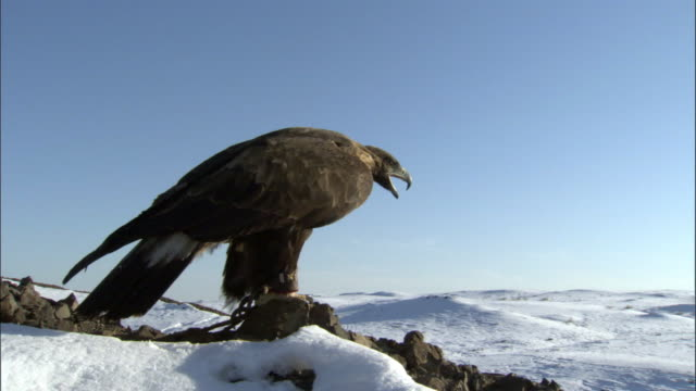 golden eagle (aquila chrysaetos) takes off and flies over steppe, jiakuerte, china - eagle bird stock videos and b-roll footage