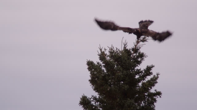 golden eagle takes off from tree, alaska. - animal wing stock videos & royalty-free footage